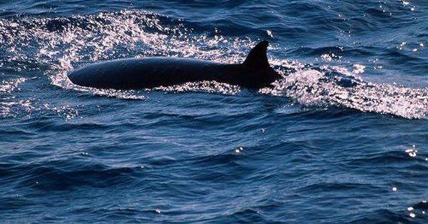 Карликовый кит (лат. Caperea marginata)