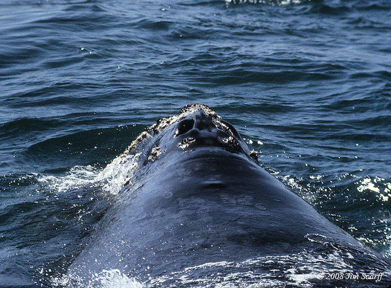 Японский гладкий кит (лат. Eubalaena japonica)