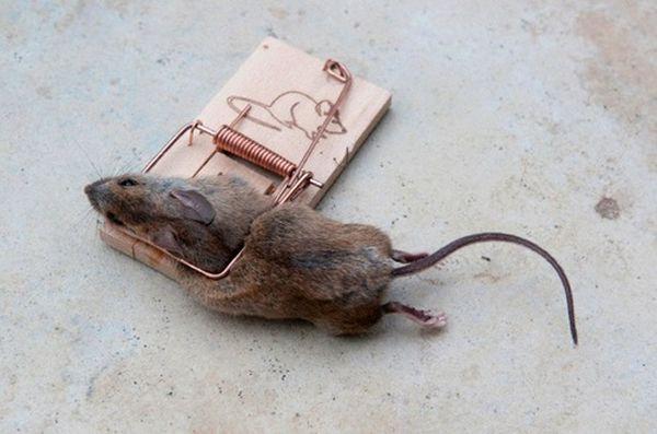 К чему снится убить мышь маленькая
