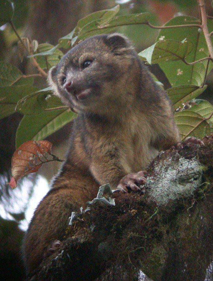 Открыт новый вид хищного млекопитающего - котомедведь олингито