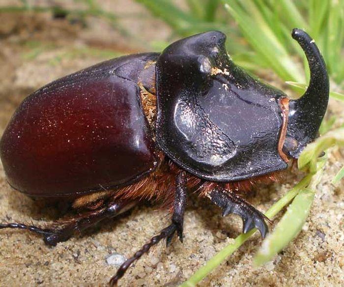Жук-носорог обыкновенный (лат. Oryctes nasicornis)
