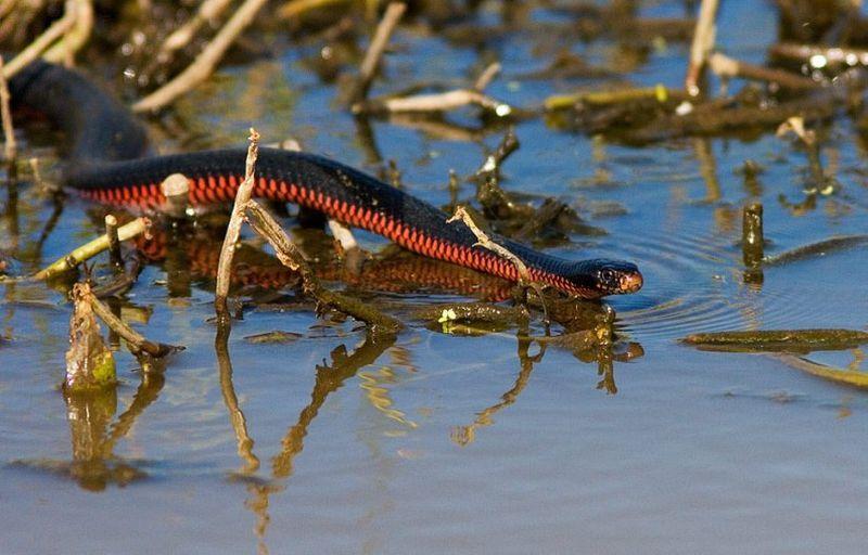 Чёрная змея (лат. Pseudechis porphyriacus), или чёрная ехидна
