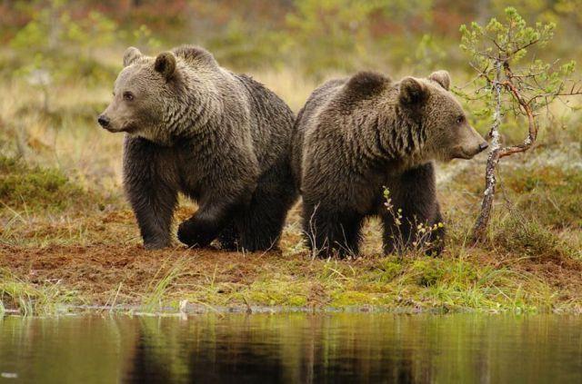 Интересные факты о бурых медведях