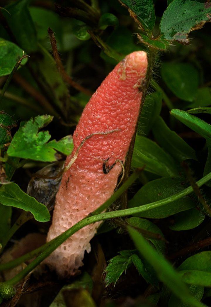 Мутинус Равенеля, или сморчок вонючий  (лат. Mutinus ravenelii)