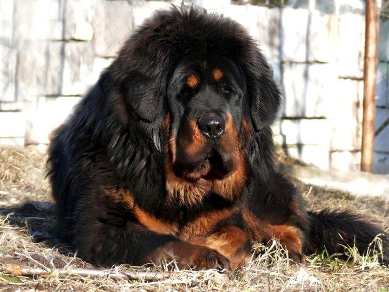 Самые большие собаки в мире Топ 7 с фото