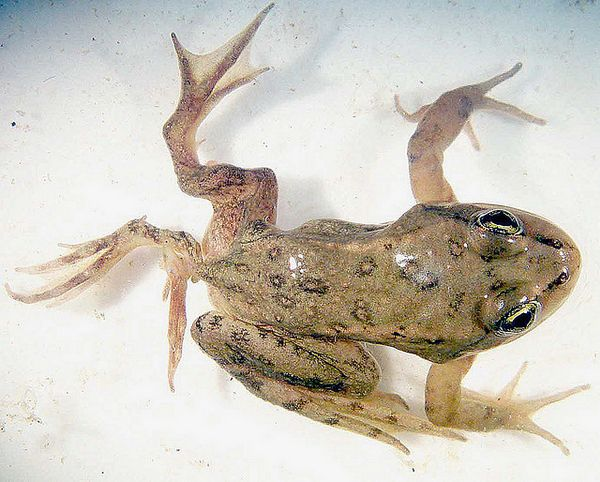 Картинки по запросу паразиты лягушки