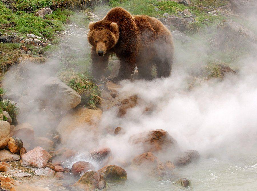 Медведи Долины Гейзеров