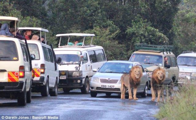 Львы в кенийском заповеднике заблокировали дорогу