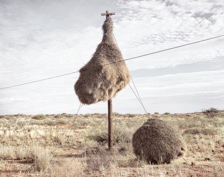 Гигантские гнездовья ткачиков