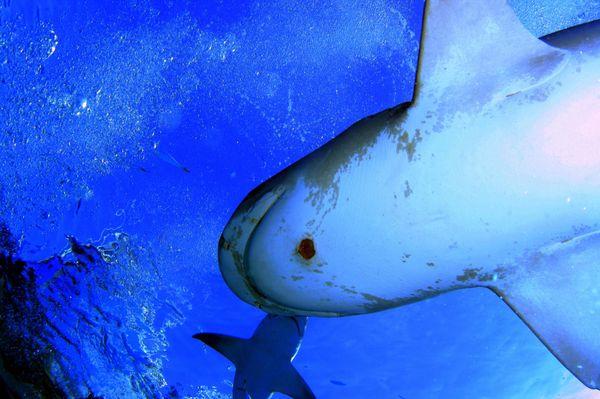 Бразильская акула (лат. Isistius Brasiliensis)