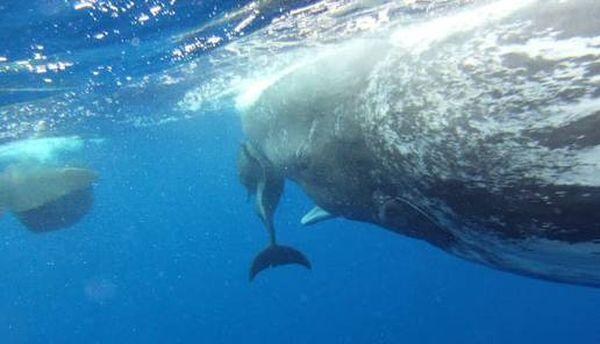 Дельфин-инвалид подружился с кашалотами