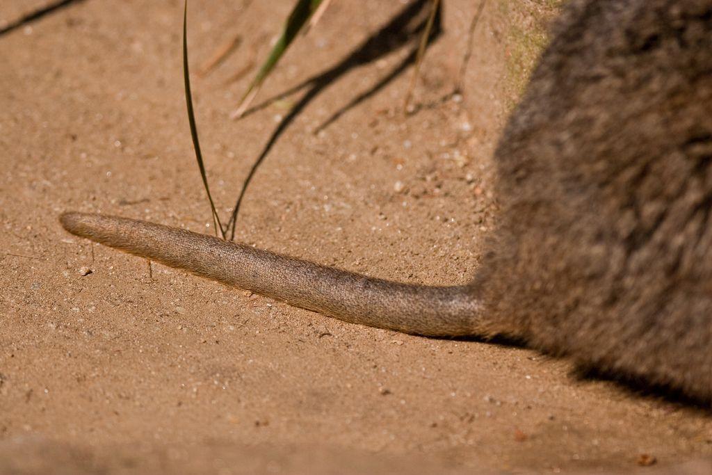 Квокка, или короткохвостый кенгуру (лат. Setonix brachyurus)