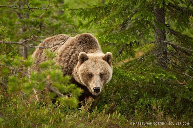 бурого медведя в лесу