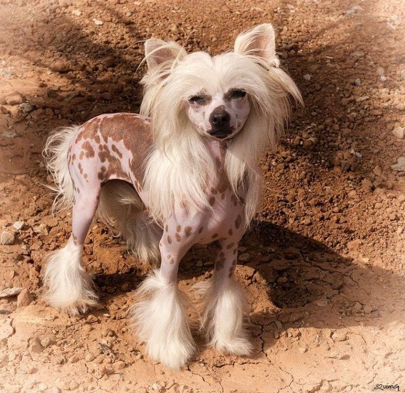 Китайская хохлатая декоративная порода собак