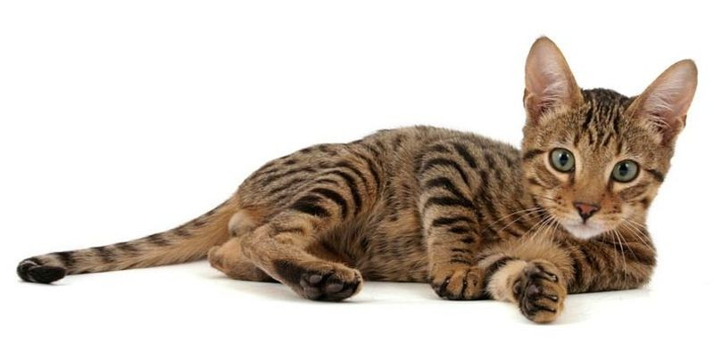 кошка породы Серенгети. фото