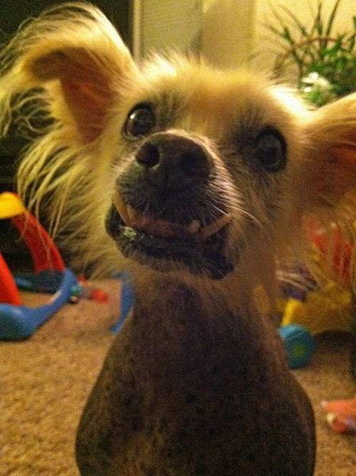 Американцы готовятся к конкурсу на самую уродливую собаку мира 2013
