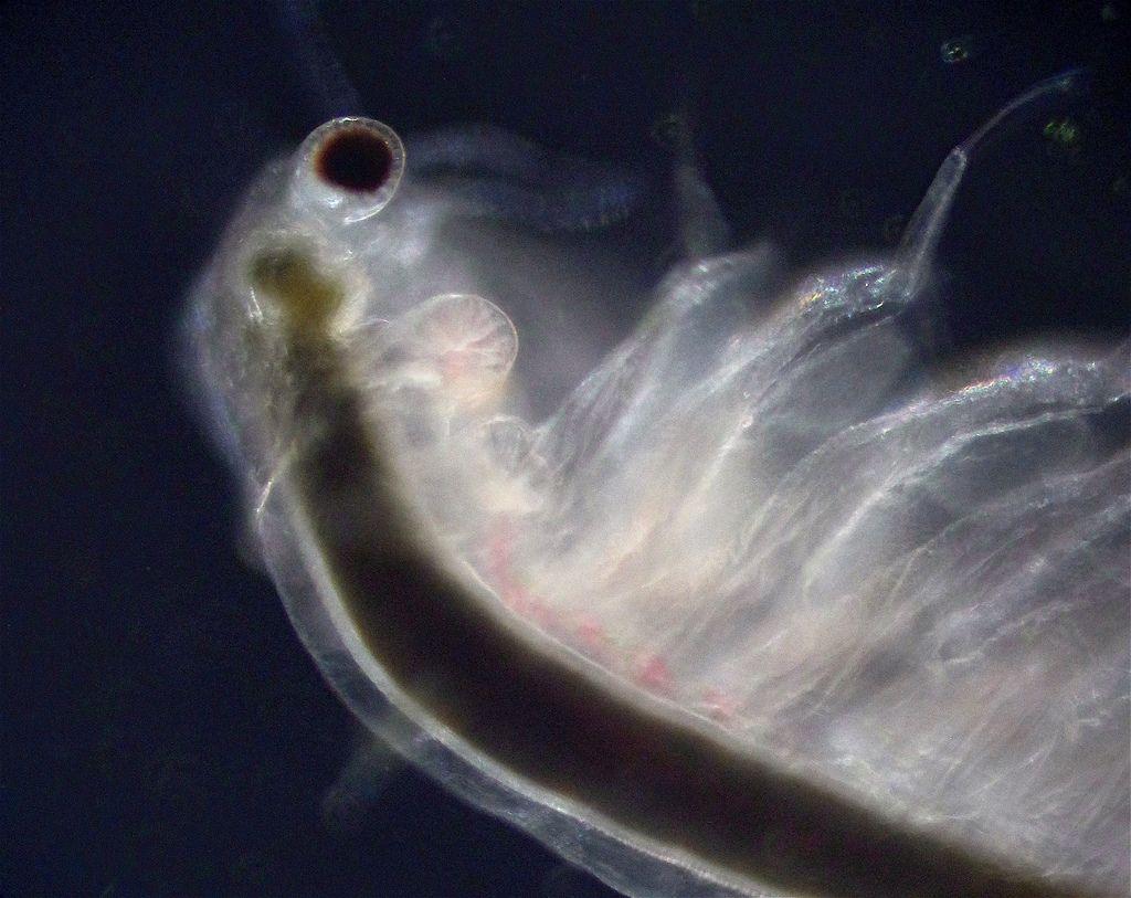 Артемия (лат. Artemia salina)