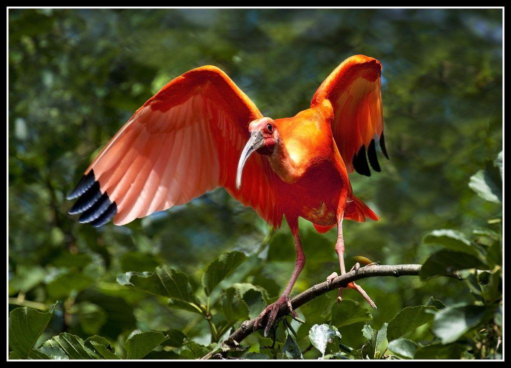 Красный ибис (лат. Eudocimus ruber)