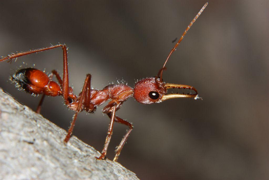 Красный муравей-бульдог (лат. Myrmecia gulosa)