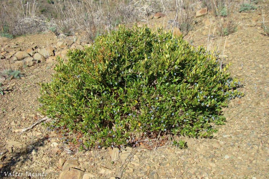 Мирт обыкновенный (лат. Myrtus communis)