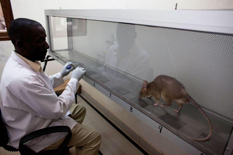 Мозамбикским специалистам по  разминированию помогают крысы-саперы
