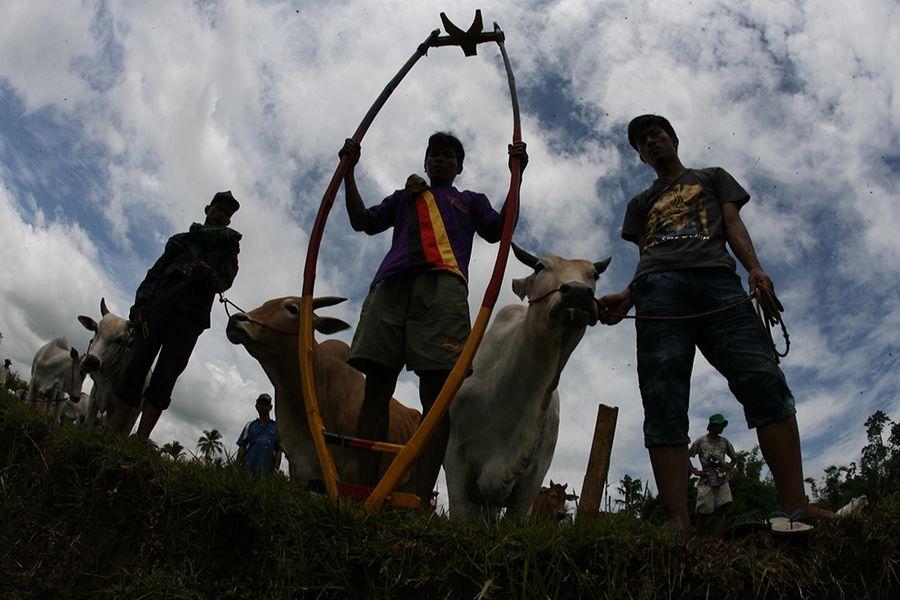 Скачки на коровах в Индии