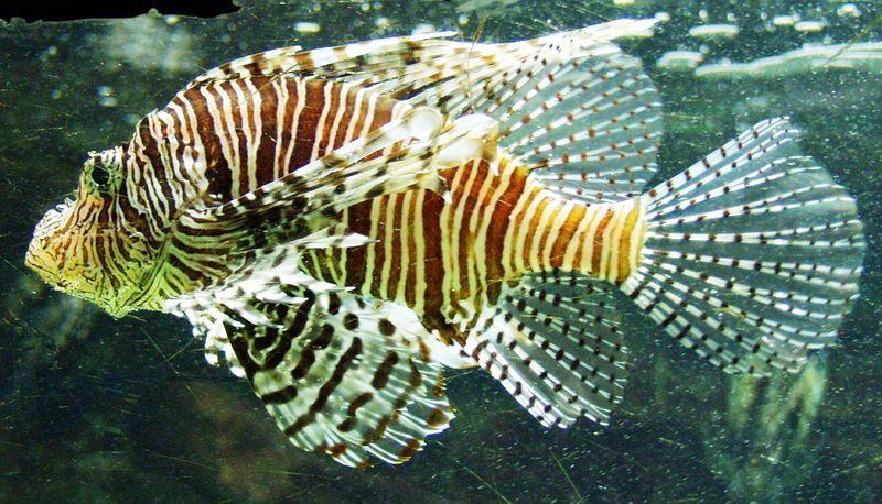 Рыба-зебра, или полосатая крылатка (лат. Pterois volitans)