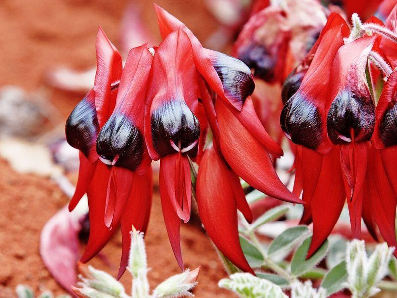 Фото цветов в австралии