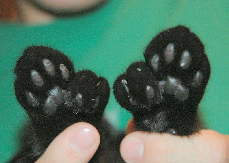 Почему у кошек на передних лапах 5 пальцев а на задних 4