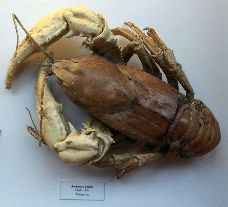 Тасманийский гигантский пресноводный рак (лат. Astacopsis gouldi)