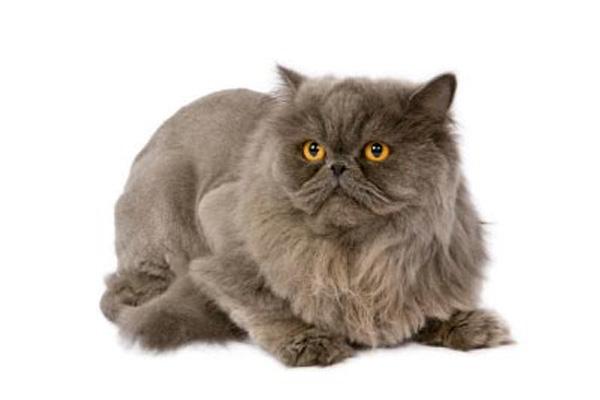 персидская кошка фото, персидская порода кошек фото