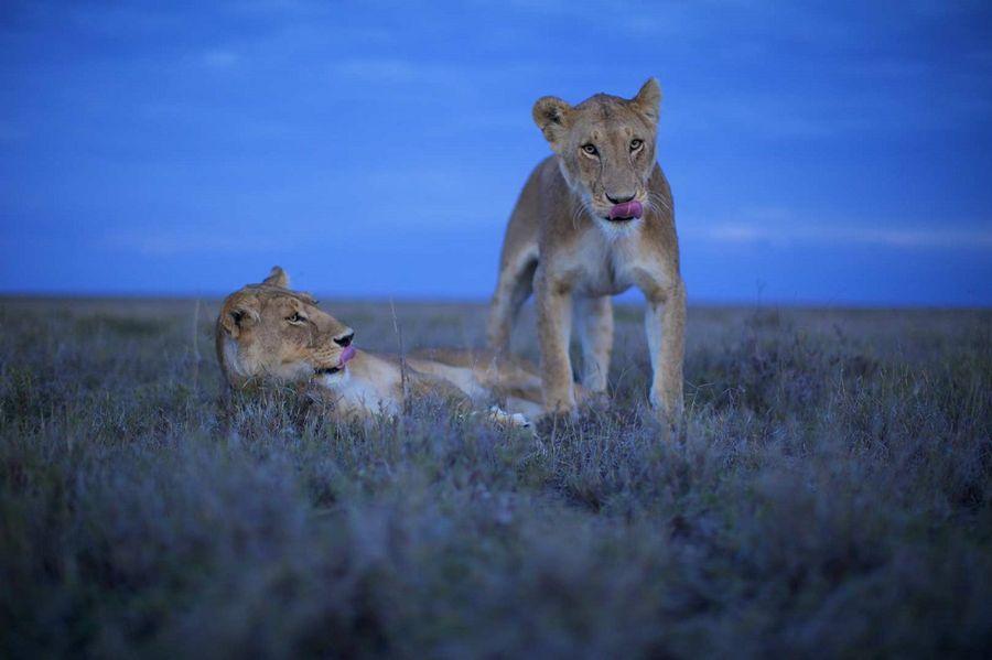 Львы Серенгети