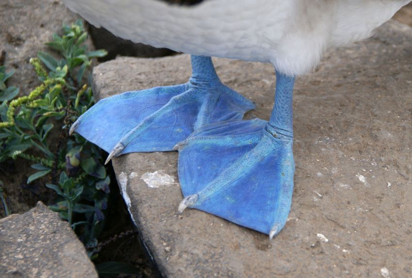Голубоногая олуша (лат. Sula nebouxii)