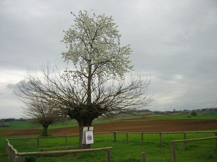 Двойное дерево Касорцо: дерево, растущее на верхушке другого дерева