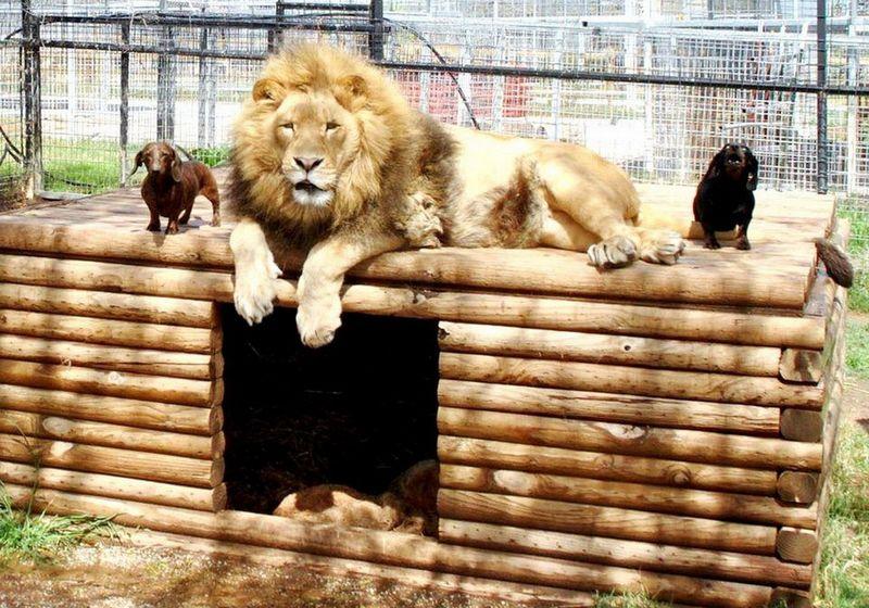 Лев с таксой стали неразлучными друзьями