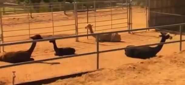 Японец научился усыплять животных на расстоянии