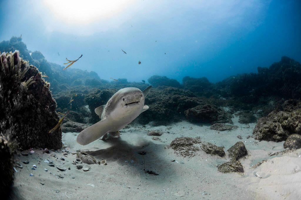 Зебровая акула, или акула-зебра (лат. Stegostoma fasciatum)