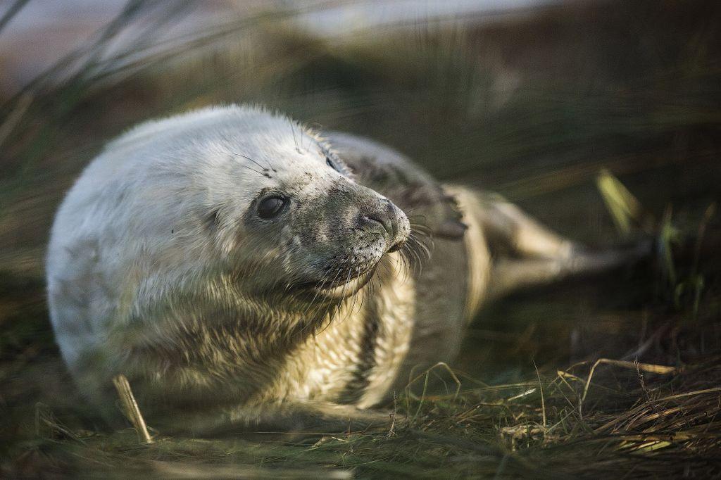 Серые тюлени заповедника Trust's Donna Nook