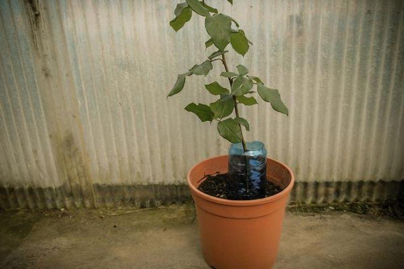 Как вырастить розу при помощи картошки