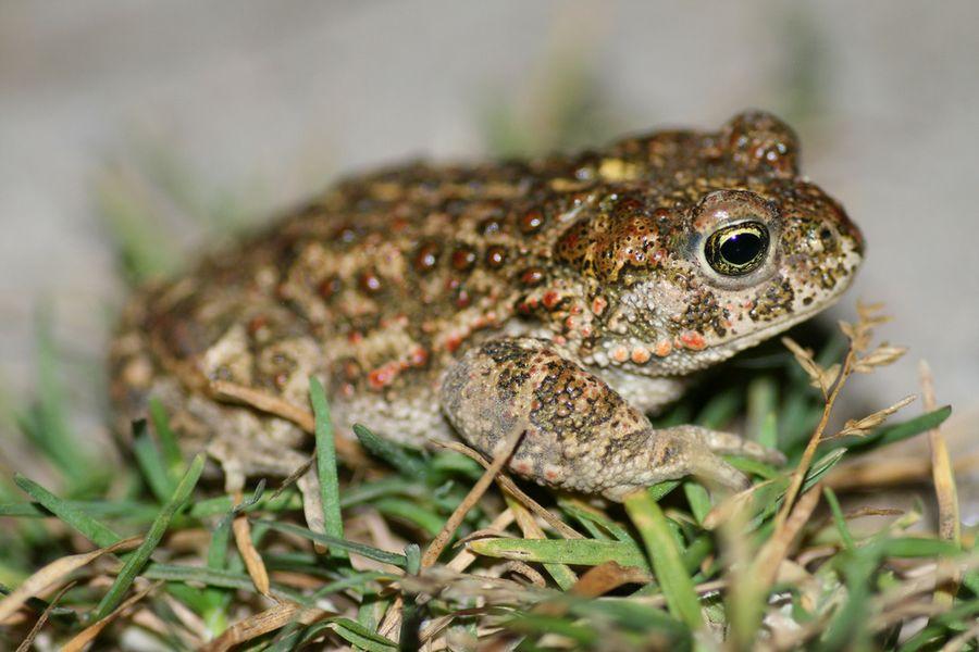 Bufo marinus, или морская жаба, обитавшая традиционно в южной америке
