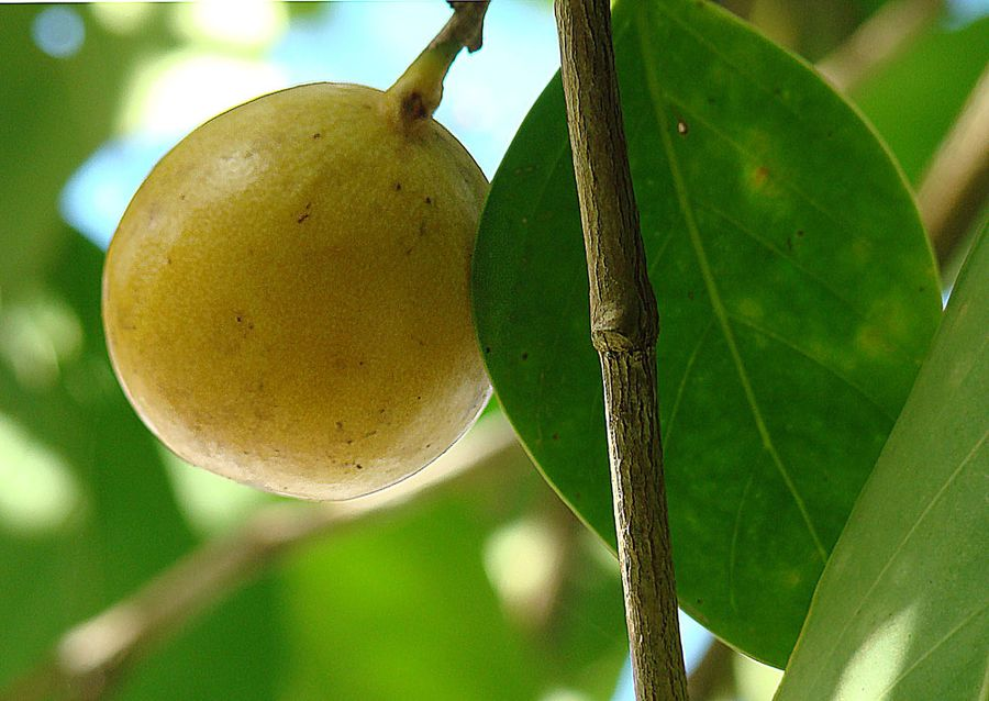 Манцинелловое дерево, или Манцинелла, известное также как манзинилла (лат. Hippomane mancinella)