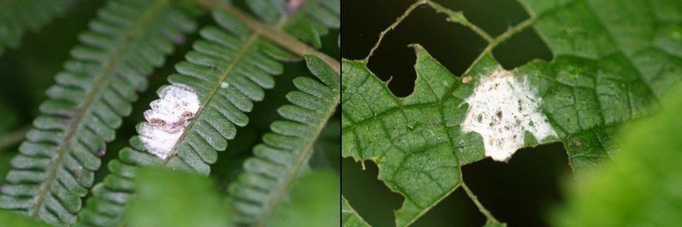 Паук Cyclosa ginnaga скрывается от хищников, маскируясь под птичий помет