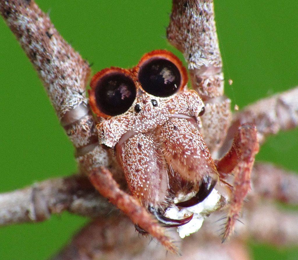 Паук-гладиатор Deinopis subrufa (лат. Deinopis subrufa)
