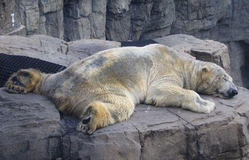 Самый печальный белый медведь живет в аргентинском зоопарке
