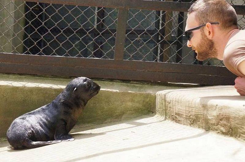 Забавный морской котик из зоопарка Wroclaw Zoo