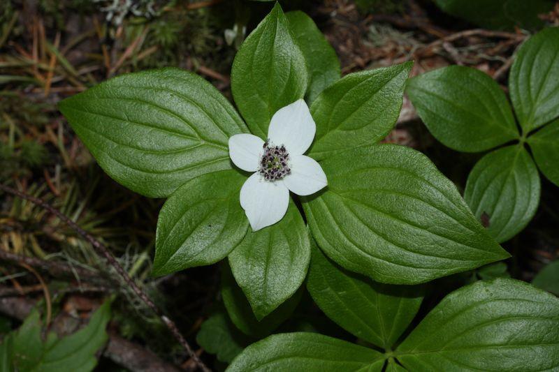 Дерен канадский - растение супер катапульта