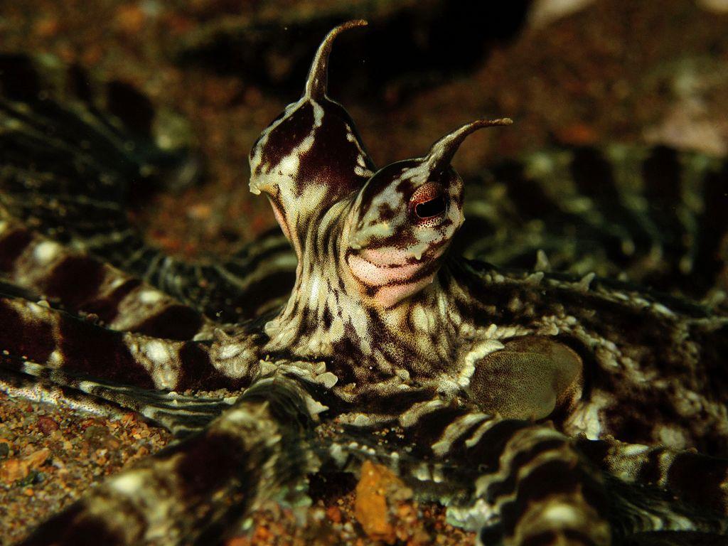 Мимический индонезийский осьминог (лат. Thaumoctopus mimicus)