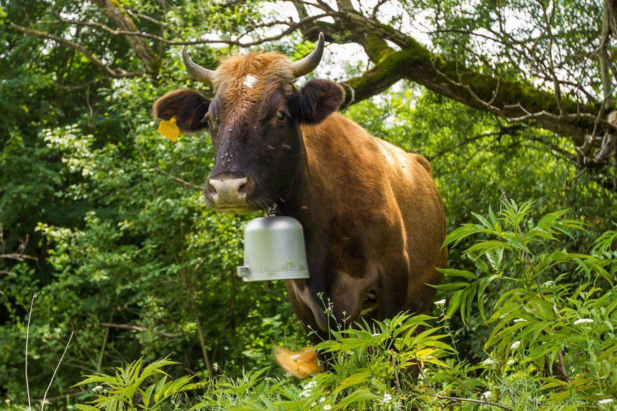 Вот типичная грузинская дорожная корова с колокольчиком