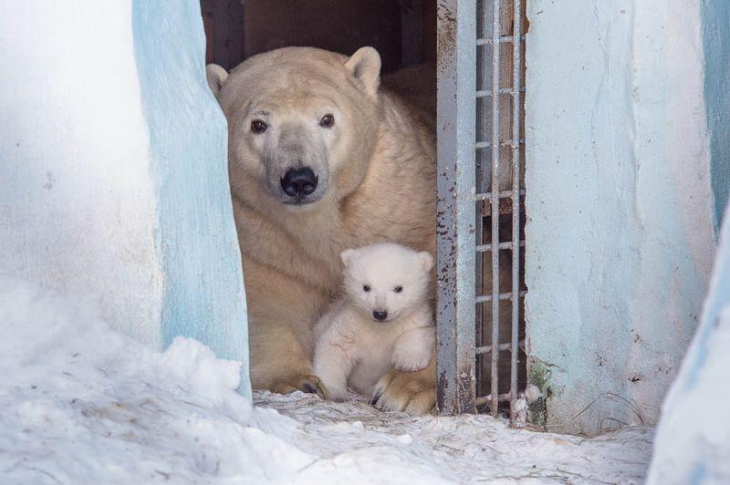 видео в новосибирске белых медведей