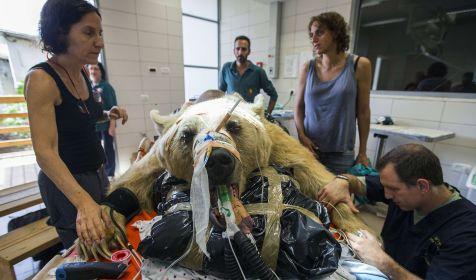 межпозвоночная грыжа у чихуахуа Операция: грыжа у собаки